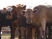 Sierra Valley Cattle.jpg