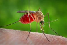 A mosquito biting a human arm
