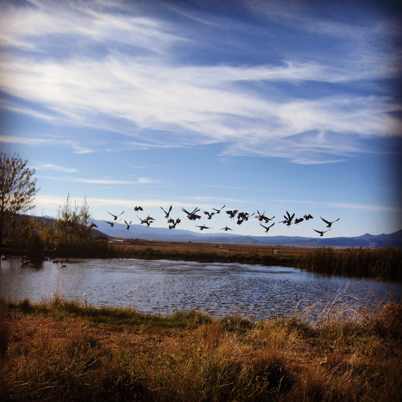 Geese over Sierra Valley Pond